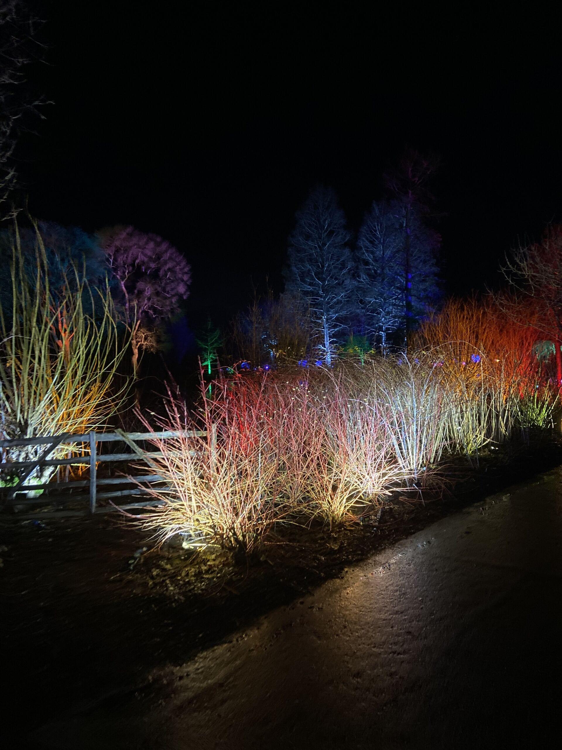 Bushes lit up RHS Wisley Glow